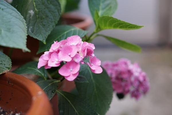 紫陽花の花が咲く
